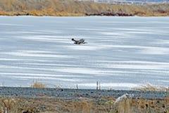 Ein Falke, der über den Fluss fliegt Stockbild
