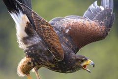 Ein Falke draußen stockfoto