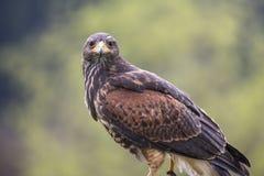Ein Falke draußen stockfotos