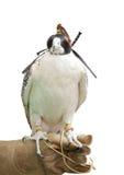 Ein Falke getrennt auf Weiß Stockfotos