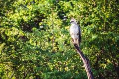 Ein Falke mit Haube, den Adler auf einer großen Niederlassung hockte, überblickt sie ` s surr Lizenzfreie Stockfotografie