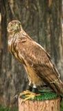 Ein Falke sitzt ankettete auf einem Stumpf, mit einem dunkelbraunen Baum im BAC Lizenzfreie Stockbilder