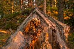 Ein Fallungsbaum im Wald Stockbild