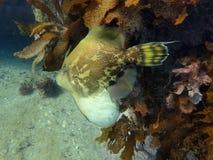 Ein fantastischer Fisch das Fan aufgeblähte leatherjacket stockfoto
