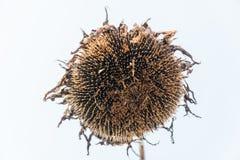 Ein Farbbild einer getrockneten Sonnenblume auf einem Feld Lizenzfreie Stockfotos