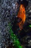Ein farbiges Aquarium schwimmt nahe den Steinen und Algen und unten schwimmt Lizenzfreies Stockbild
