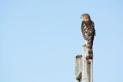 Ein Fassbinder ` s Falke hockte auf einem Beitrag im Nordosten, US Stockbilder