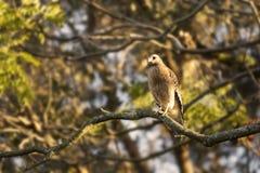 Ein Fassbinder ` s Falke, Seitenansicht Lizenzfreie Stockfotos