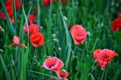 Ein Feld der roten Mohnblumen Stockfotos