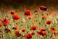 Ein Feld der roten Mohnblumen. Stockfotografie