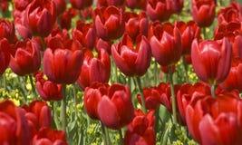 Ein Feld der roten Tulpen Stockbilder