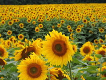 Ein Feld der Sonnenblumen stockfoto