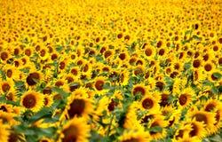 Ein Feld der Sonnenblumen lizenzfreie stockfotos