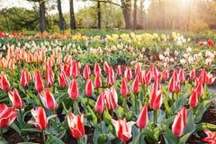 Ein Feld der Tulpen Stockbilder