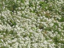 Ein Feld der weißen Blumen Lizenzfreie Stockfotografie