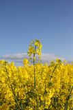 Ein Feld des gelben Rapssamens Stockfotografie
