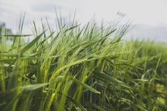 Ein Feld des grünen Weizens Stockfotos
