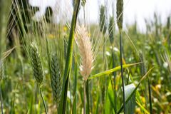 Ein Feld des grean Weizens w?chst heran stockfotografie