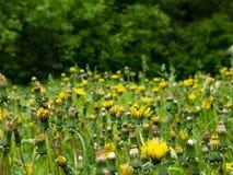 Ein Feld des Löwenzahns in einem Vorstadtpark nahe dem Wald lizenzfreie stockfotos