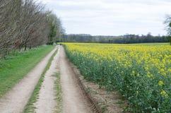 Ein Feld des Rapssamens mit einem farmtrack, das längsseits läuft stockbild