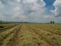 Ein Feld des Reisfeldes nachdem dem Ernten mit blauem bewölktem Himmel stockfotos