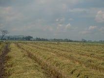 Ein Feld des Reisfeldes nachdem dem Ernten mit blauem Himmel lizenzfreies stockbild