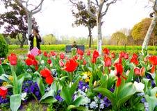 Ein Feld des roten Tulpenblühens Stockbild