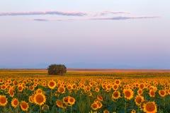 Ein Feld des schönen Sonnenaufgangs der Sonnenblumen morgens lizenzfreie stockfotos