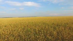 Ein Feld des Weizens stock video footage