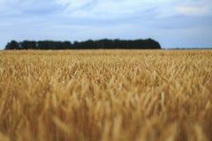 Ein Feld des Weizens Stockfoto