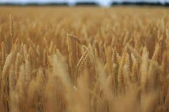 Ein Feld des Weizens Lizenzfreies Stockfoto