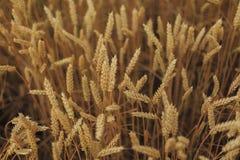 Ein Feld des Weizens Stockfotografie