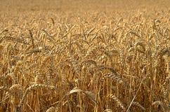 Ein Feld des Weizens bereit zu ernten Lizenzfreie Stockfotos