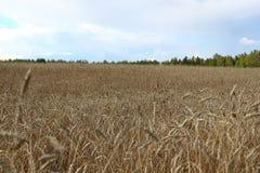 Ein Feld des Weizens während der Erntezeit Lizenzfreie Stockfotografie