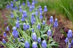 Ein Feld von blauen Blumen Lizenzfreie Stockfotos