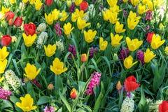 Ein Feld von den Blumen, die aus wei?er Tulpe, roter Tulpe, Muscari, Hyazinthe, Narzisse an einem sonnigen Fr?hlingstag bestehen stockbild