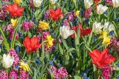 Ein Feld von den Blumen, die aus wei?er Tulpe, roter Tulpe, Muscari, Hyazinthe, Narzisse an einem sonnigen Fr?hlingstag bestehen stockbilder