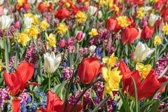 Ein Feld von den Blumen, die aus wei?er Tulpe, roter Tulpe, Muscari, Hyazinthe, Narzisse an einem sonnigen Fr?hlingstag bestehen lizenzfreies stockfoto