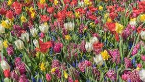 Ein Feld von den Blumen, die aus wei?er Tulpe, roter Tulpe, Muscari, Hyazinthe, Narzisse an einem sonnigen Fr?hlingstag bestehen stockfotografie