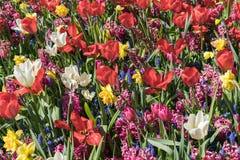 Ein Feld von den Blumen, die aus wei?er Tulpe, roter Tulpe, Muscari, Hyazinthe, Narzisse an einem sonnigen Fr?hlingstag bestehen stockfotos