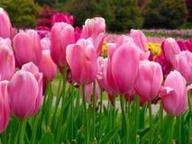 Ein Feld von den gelben Tulpen, die im Vorfrühling blühen Stockfotos