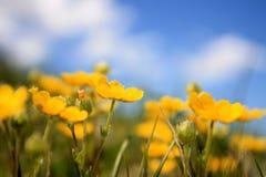 Ein Feld von gelben Frühlingsblumen Stockfotos