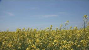 Ein Feld von gelben Rapssamenblumen, das den blauen Himmel auf dem Horizont trifft Der Effekt von den Stielen, die in den Himmel  stock video