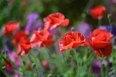Ein Feld von glänzenden wilden roten Mohnblumen auf hohen Stämmen unter dem Gras am windigen Tag des sonnigen Sommers, das Feld,  Lizenzfreie Stockfotos