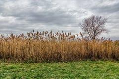 Ein Feld von Grasland Cordgrass-Spartina pectinata Lizenzfreie Stockfotos