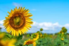 Ein Feld von hellen gelben Sonnenblumen beleuchtete durch Morgensonne mit Blau stockbilder