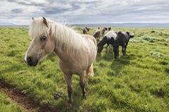 Ein Feld von isländischen Pferden Lizenzfreies Stockbild
