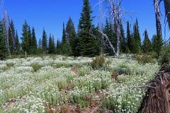 Ein Feld von perligem ewig in voller Blüte Lizenzfreie Stockfotos