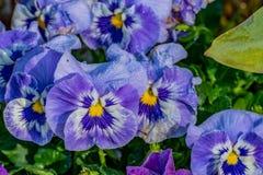 Ein Feld von purpurroten Blumen mit den wei?en und gelben Mitten lizenzfreie stockfotografie