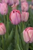 Ein Feld von rosa Tulpen stockfoto